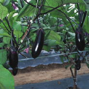 Aubergine F1 Moneymaker 40 Seeds